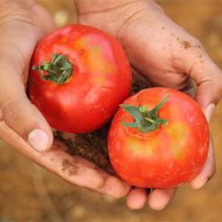 garden tomatoes in hand